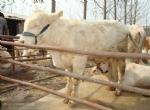 供应山西架子牛