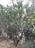 供应桔子树15公分