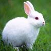供应獭兔苗