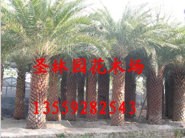 供应银海枣种植技术 银海枣别名为中东海枣 福建银海枣批发