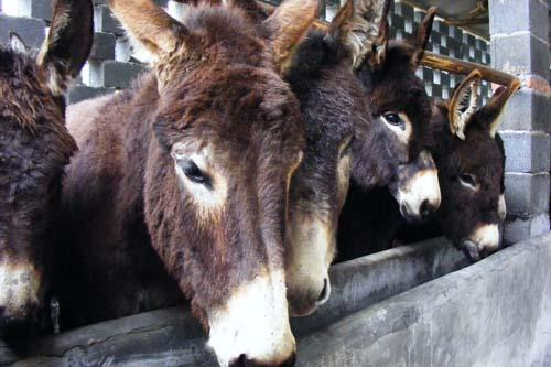 大型肉驴养殖场以繁育和养殖中国渤海驴(德州驴)为主要业务,在肉驴的