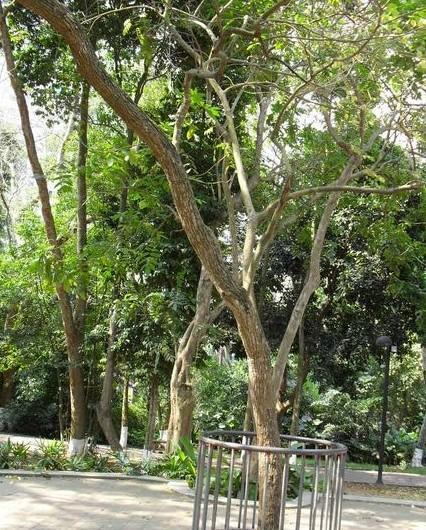 红木树树叶图片大全
