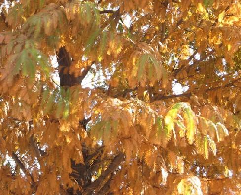 水杉树干通直,水杉面积太大,是砍还是留?;;