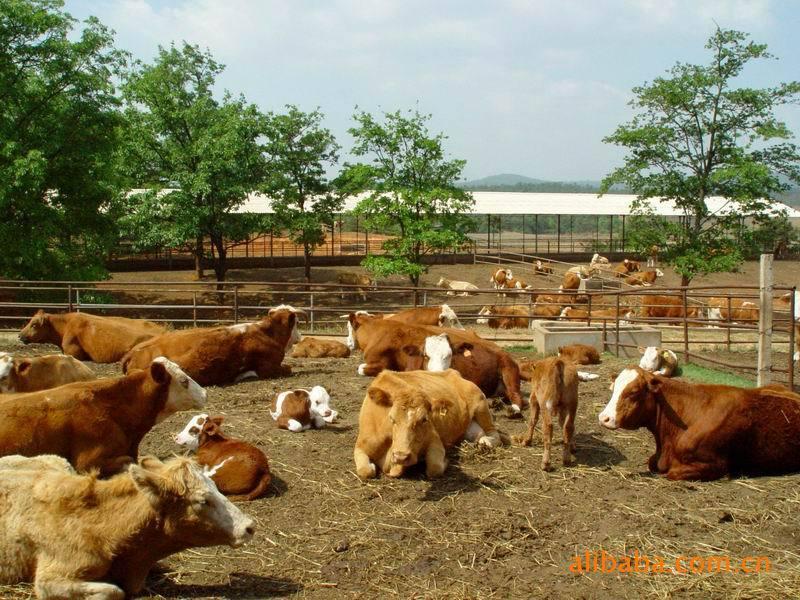 壁纸 动物 牛 圈养 养殖 800_600图片