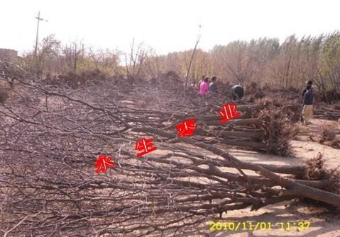 枣树春季种植技术管理-出售枣树苗-河北枣苗