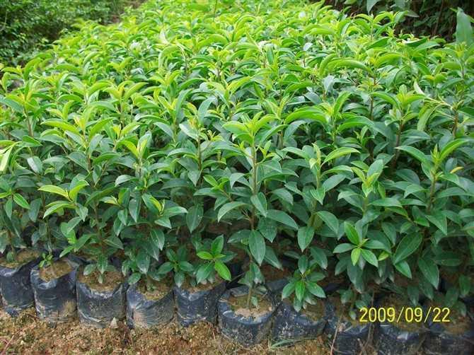资讯频道 产品资讯 广州绿化苗绿化树苗  供应绿化种苗:红花银桦