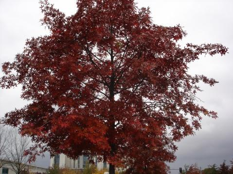 树叶变成红色的树有枫树,还有红橡树.