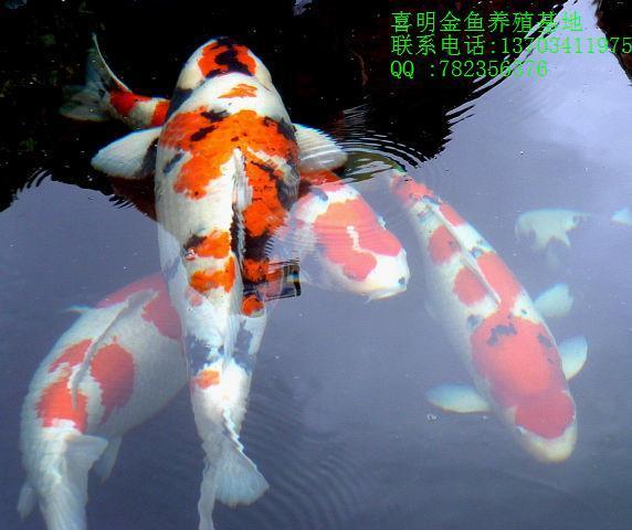 观赏鱼/观赏鱼的种类/观赏鱼大全/冷水鱼观赏鱼图片