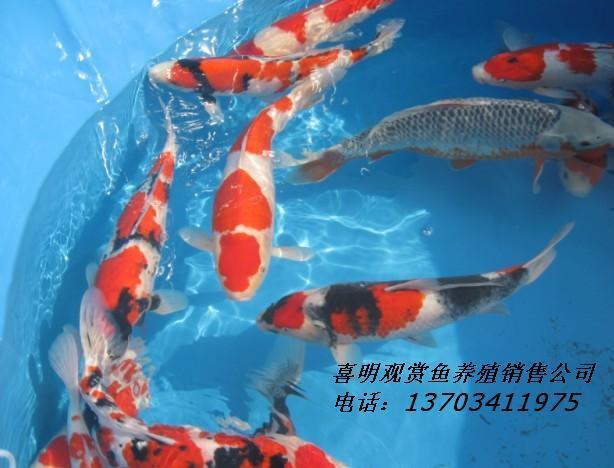 高档观赏鱼锦鲤的养殖技术